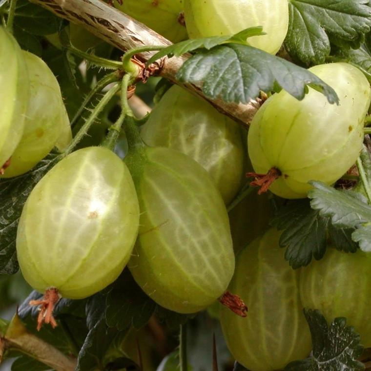 Ribes uva-crispa 'Invicta'. Opstammet - Salgshøjde: 80-100 cm. - Stikkelsbær (FJ)