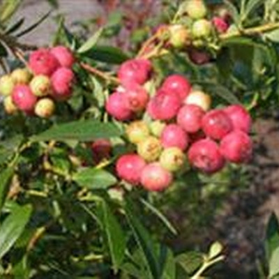 Vaccinium corymbosum 'Pink Lemonade' (Blåbær (FJ)) - Salgshøjde: 30-50 cm