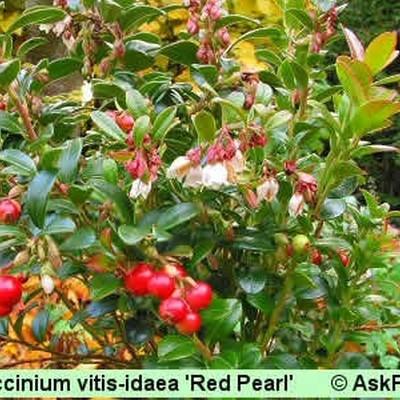 Vaccinium vitis-idaea 'Red Pearl'. (Tyttebær)  - Salgshøjde: 5-10 cm
