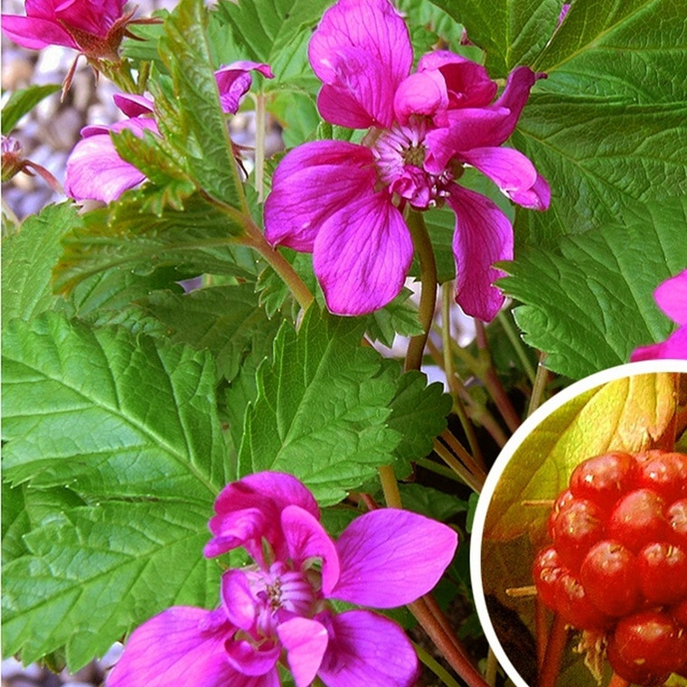Rubus x stellarcticus 'Linda' - (Allåkerbær)
