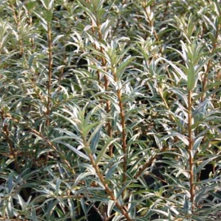 Hippophae rhamnoides 'Polmix' (Havtorn/Sandtorn Hanplante) - Salgshøjde: 30-50 cm. -