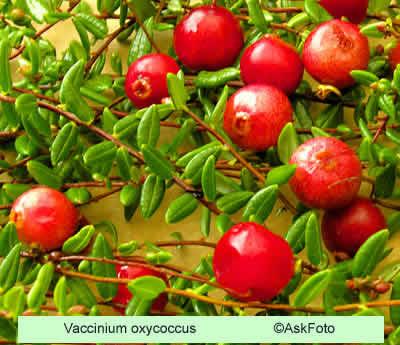 Vaccinium oxycoccus (Tranebær) - Salgshøjde: 5-10 cm.