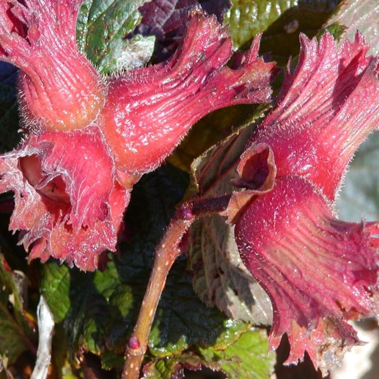 Corylus 'Rød Zellernød'. (Hasselnød - Nød)  - Salgshøjde: 50-80 cm.