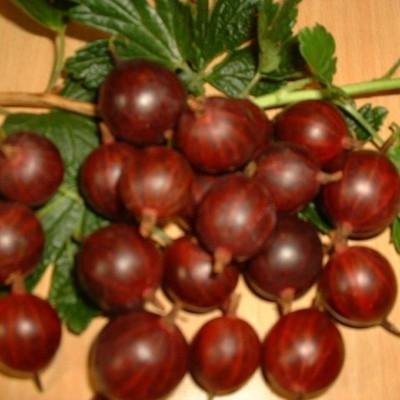 Ribes uva-crispa 'Larell'. (Stikkelsbær, Opstammet)  - Salgshøjde: 80-100 cm.