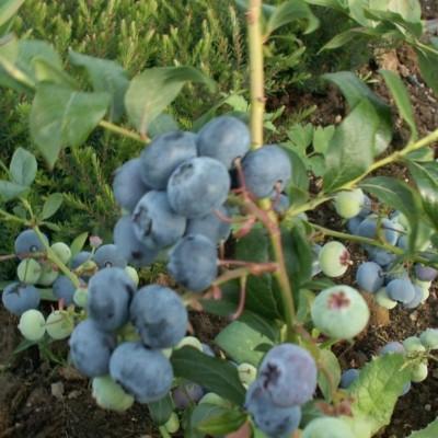 Vaccinium corymbosum 'Northland'. (Blåbær) - Salgshøjde: 30-50 cm