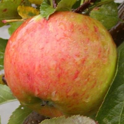 Æbletræ 'Topaz' -salgshøjde: 130-175 cm.