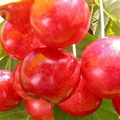 Kirsebærtræ 'Victor'-salgshøjde:  130-175 cm.
