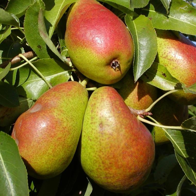Pæretræ 'Bonne Louise' -salgshøjde:  130-175 cm.