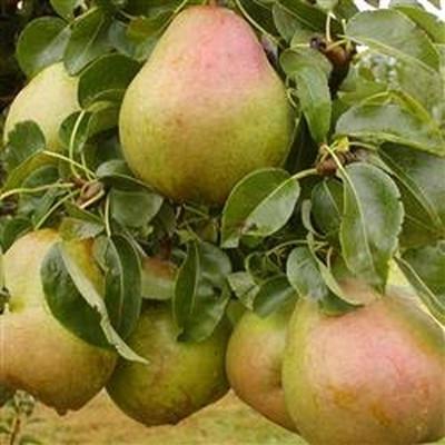 Pæretræ 'Comice' -salgshøjde:  130-175 cm.