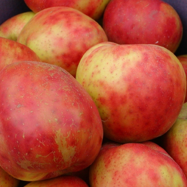 Æbletræ 'Rød Gråsten' -salgshøjde: 130-175 cm.