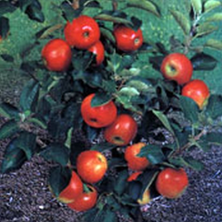 Æbletræ 'Delgrina' - Kugleæble - salgshøjde: 50-60 cm.