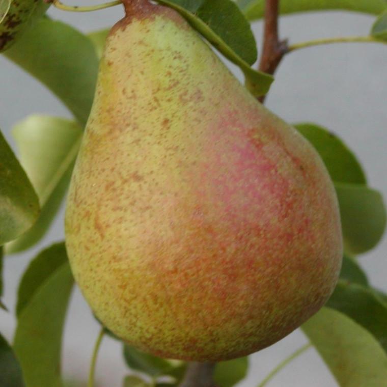 Pæretræ 'Carola' (Espalier) -salgshøjde: 130-175 cm.