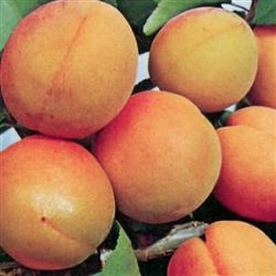 Prunus armeniaca 'Orangered'- Abrikos salgsh: busk/lille træ 80-180 cm.