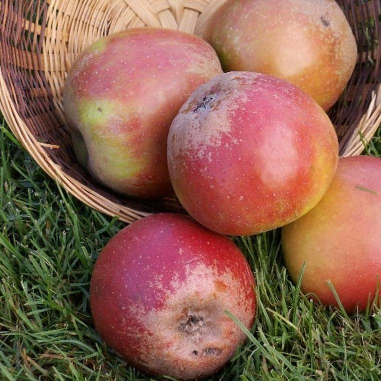 Æbletræ 'Rød Cox Orange' -salgshøjde: 130-175 cm.