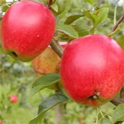 Æbletræ 'Retina' - salgshøjde 130-175 cm.