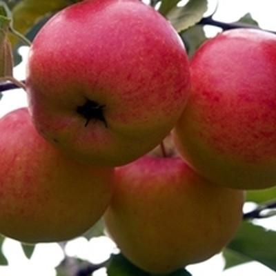 Æbletræ 'Rubinola' - salgshøjde: 130-175 cm.