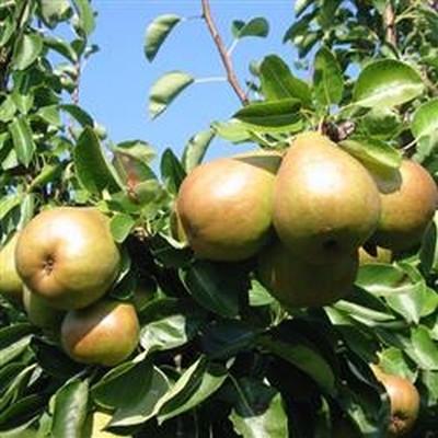 Pæretræ 'Skånsk Sukkerpære' -salgshøjde: 130-175 cm.