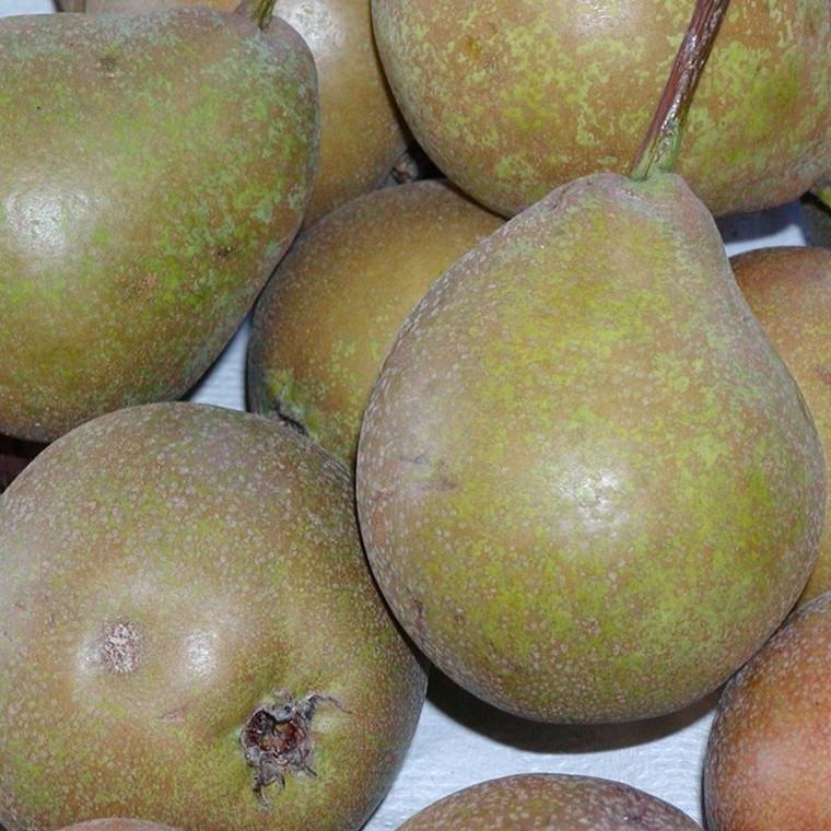 Pæretræ 'Gråpære' (Vildstammetræ) -salgshøjde: 130-175 cm.