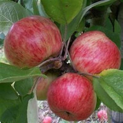 Æbletræ Cideræble 'Browns Apple' -salgshøjde: 130-175 cm.
