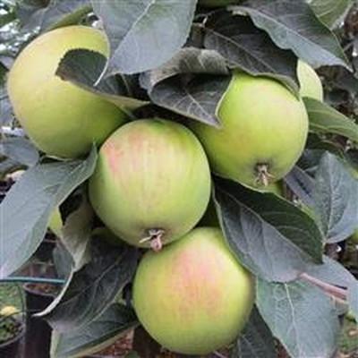 Æbletræ Cideræble 'Marie Ménard' -salgshøjde: 130-175 cm.