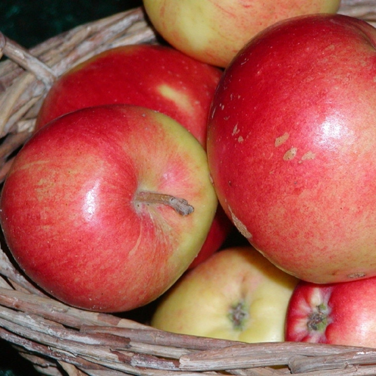 Æbletræ 'Katja Balsgård' -salgshøjde: 130-175 cm.