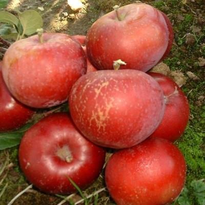 Æbletræ 'Lobo' -salgshøjde: 130-175 cm.