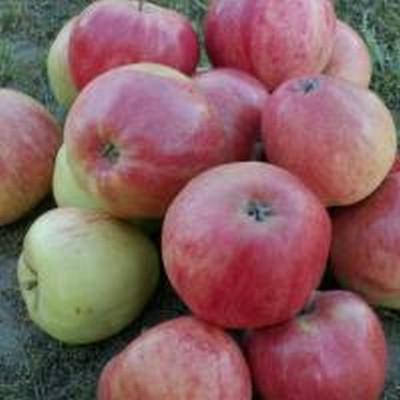 Æbletræ 'Rød Ananas' -salgshøjde: 130-175 cm.