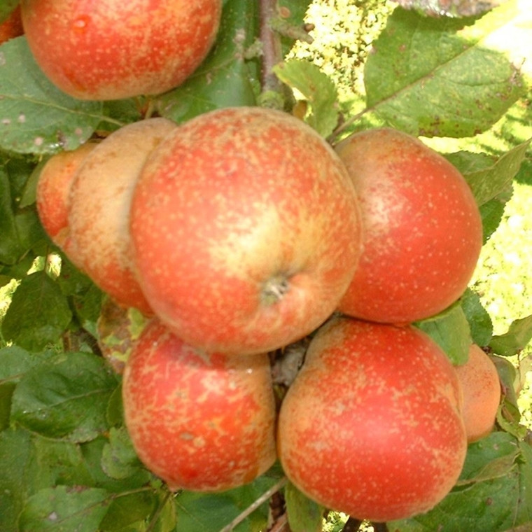Æbletræ 'Rød Belle de Boskoop' (3 års træ) -salgshøjde: 130-175 cm.