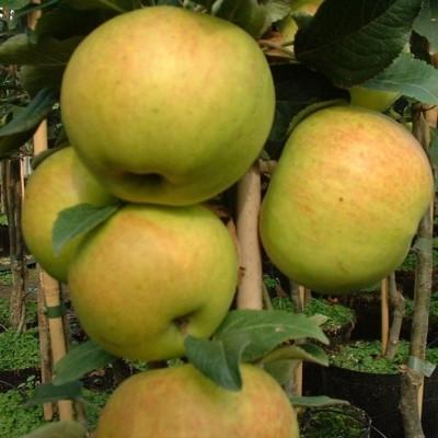 Æbletræ 'Kong Skjold' ('Arbot') (Søjlefrugttræ) -salgshøjde: 50-100 cm.