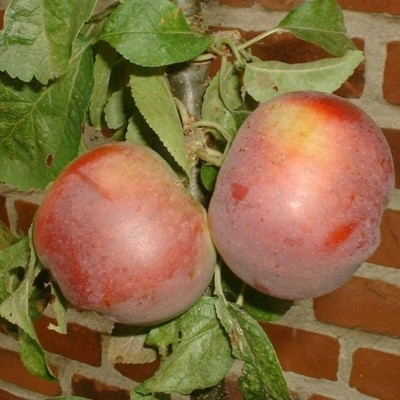 Æbletræ 'Freja' ('Dzin') (Søjlefrugttræ) -salgshøjde: 50-100 cm.