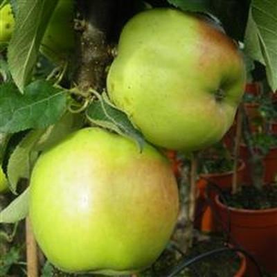 Æbletræ 'Goldcats'  (Søjleæbletræ) -salgshøjde: 50-100 cm.