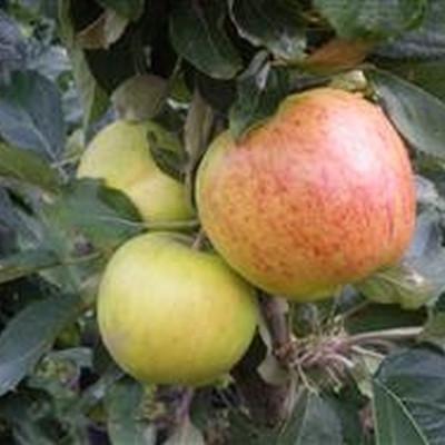 Æbletræ 'Starcats' (Søjleæbletræ) -salgshøjde: 50-100 cm.