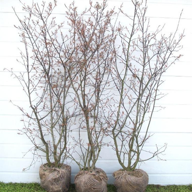 Amelanchier lamarckii (canadensis) - Færdighæk - højde: 125 cm. - Bærmispel