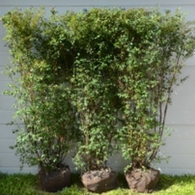 Spiraea vanhouttei - Færdighæk - højde 180 cm. - Hækspiræa