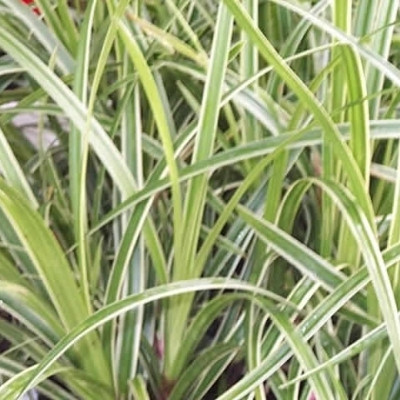 CAREX morrowii 'Ice Dance' (Gulstribet Japansk Star)