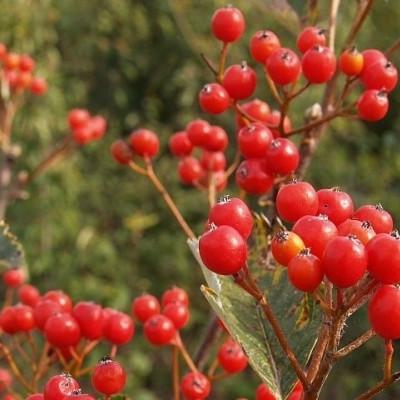 Sorbus mougeotti  (Pyrenæisk Røn) Salgsh.: 40-60 cm.  (Barrodet bdt m/25 stk)