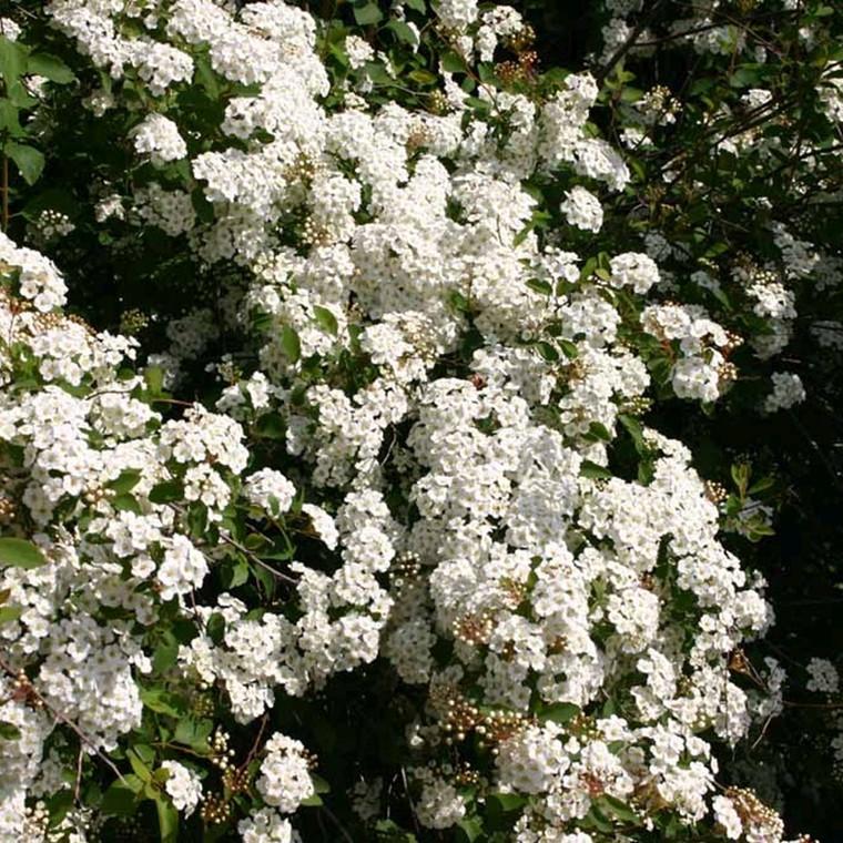 Spiraea vanhouttei (Hækspiræa) Salgsh: 30-50 cm.  (Barrodet bdt m/25 stk)