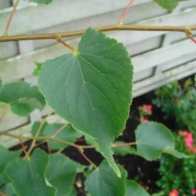 Tilia cordata (Småbladet Lind) Salgsh.: 30-50 cm.  (Barrodet bdt. m/25 stk)