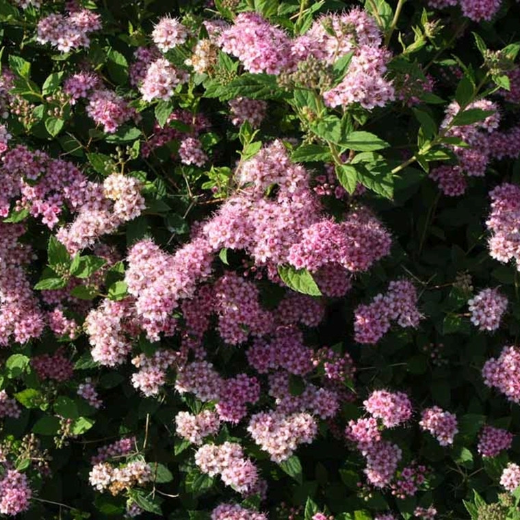 Spiraea  japonica 'Little Princess' (Spiræa) Salgsh.: 15-30 cm.  (Barrodet bdt m/25 stk)