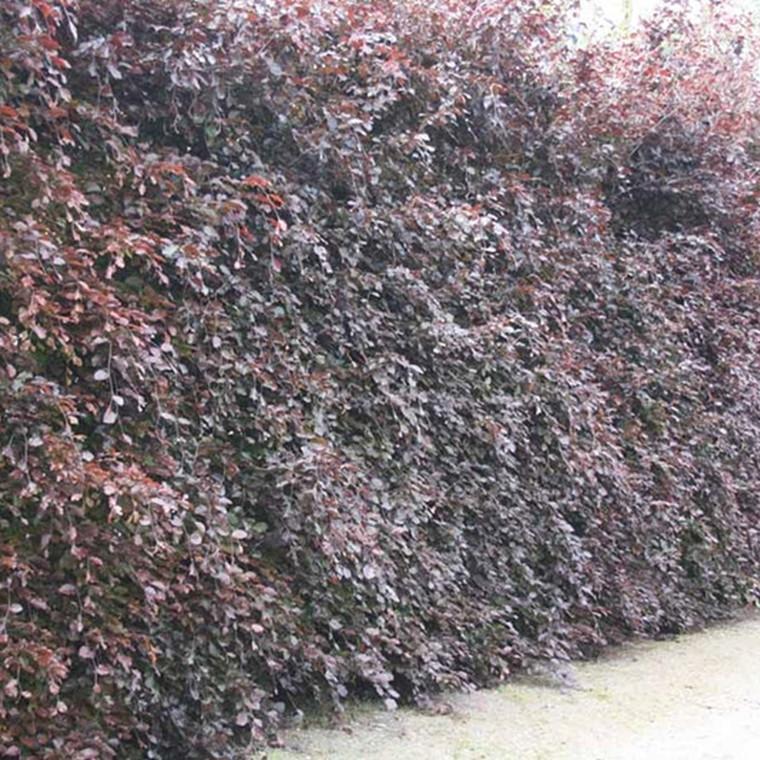 Fagus sylvatica 'Purpurea' (Rødbøg) Salgshøjde: 50-80 cm.  (Barrodet bdt m/25 stk)