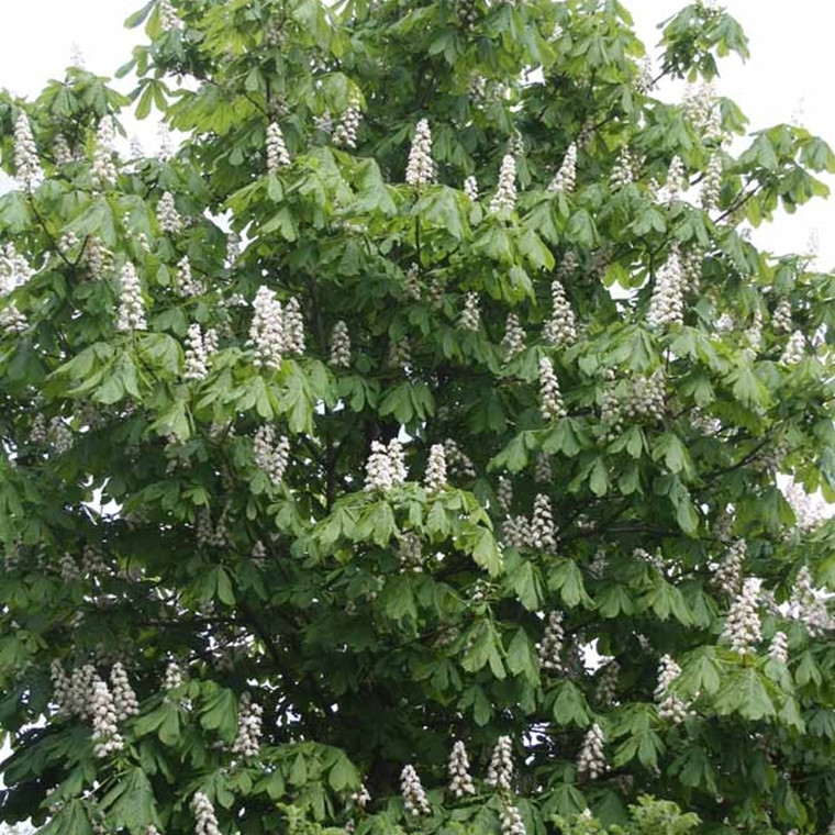 Aesculus hippocastanum (Kastanie) Salgshøjde: 60-100 cm. (Barrodet bundt m/25 stk)