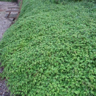 Stephanandra incisa 'Crispa' (Kranstop) Salgsh: 20-40 cm.  (Barrodet bdt m/25 stk)