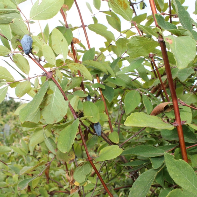 Lonicera caerulea ( Blåfrugtet Gedeblad) Salgsh.: 50-80 cm. (Barrodet bdt m/25 stk)