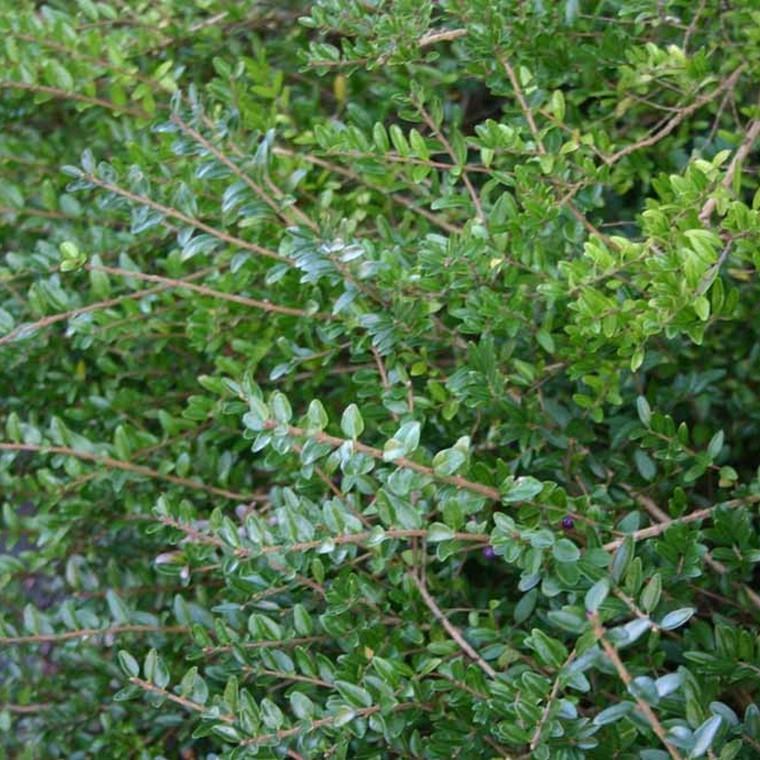 Lonicera nitida 'Elegant' (Myrtegedeblad) Salgsh.: 15-30 cm. (Barr. bdt m/25 stk)