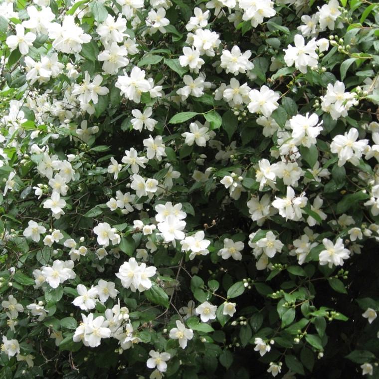 Philadelphus polyanthus 'Mont Blanc' (uægte jasmin) Salgsh: 30-50 cm (Barrodet bt m/25 stk)