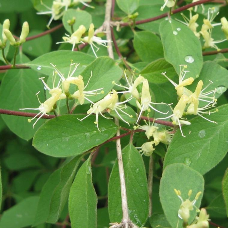 Lonicera xylosteum (Dunet Gedeblad) Salgsh: 30-50 cm. (Barrodet bdt m/25 stk)