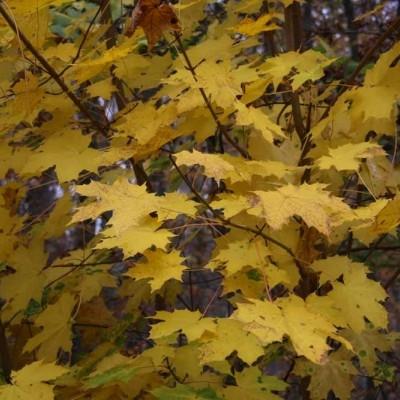 Acer platanoides ( Spidsløn) Salgshøjde: 60-100  cm.  (Barrodet bundt m/25 stk)