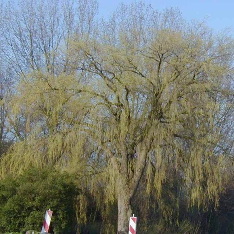 Salix alba 'Tristis' - Salgshøjde: 40-60 cm.  (Barrodet bundt m/25 stk) - Hvidpil