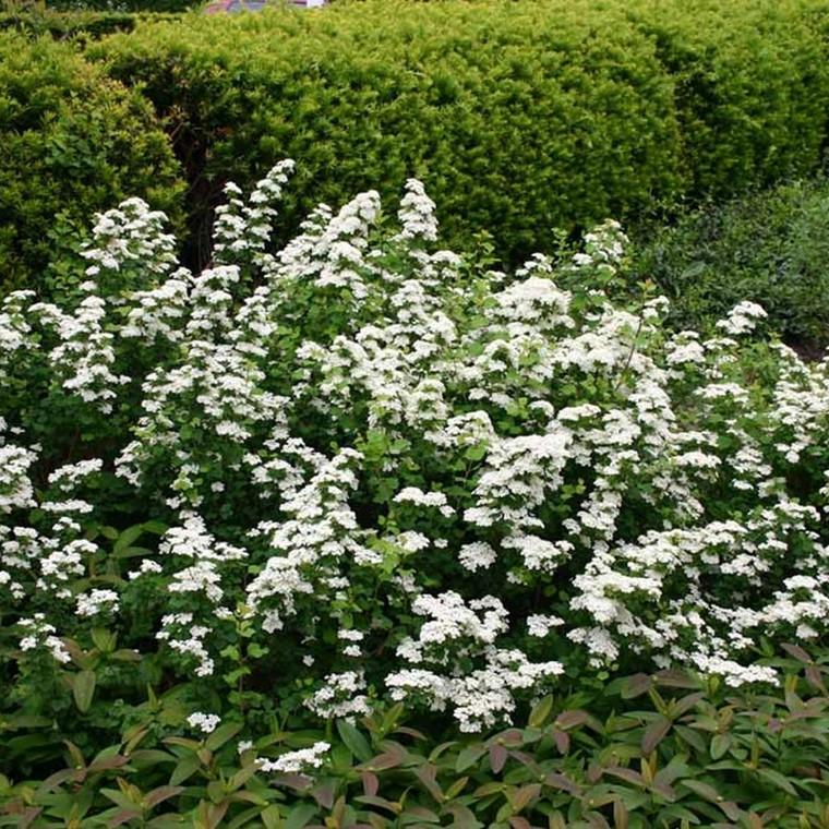 Spiraea betulifolia 'Aemiliana' (Spiræa )Salgsh.-15-30-cm. (Barrodet bdt a' 25 stk.)