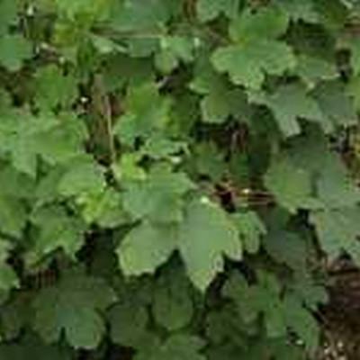 Acer pseudoplatanus (Ahorn) Salgshøjde: 40-60  cm.  (Barrodet bundt m/25 stk)